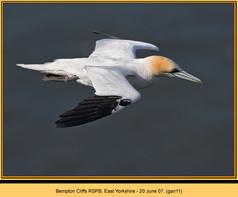 gannet-11.jpg
