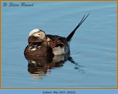 long-tailed-duck-53.jpg