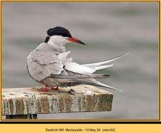 common-tern-02.jpg