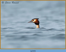 great-crested-grebe-60.jpg