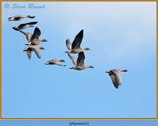 pink-footed-goose-52.jpg