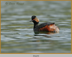 black-necked-grebe-10.jpg