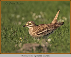 stone-curlew-05.jpg