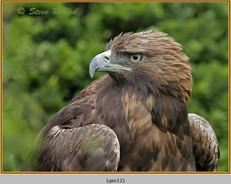 golden-eagle(c)-12.jpg
