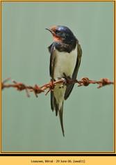 swallow-11.jpg