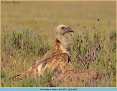 griffon-vulture-60.jpg