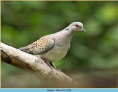 turtle-dove-18.jpg