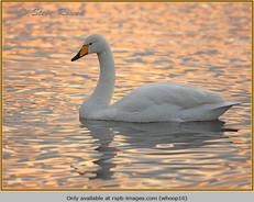 whooper-swan-16.jpg