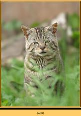 wildcat-01.jpg