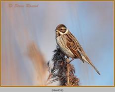 reed-bunting-51.jpg