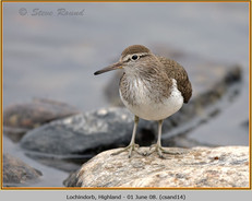 common-sandpiper-14.jpg