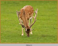 fallow-deer-11.jpg