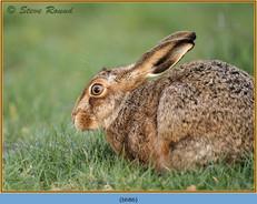 brown-hare-86.jpg