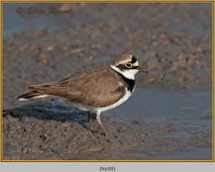 little-ringed-plover-20.jpg