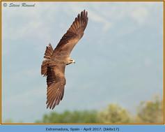 black-kite-17.jpg