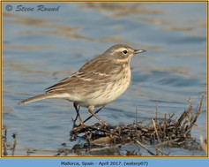 water-pipit-07.jpg