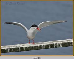 common-tern-28.jpg