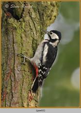 gt-s-woodpecker-02.jpg