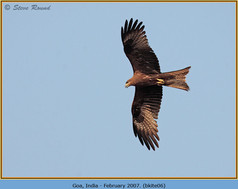 black-kite-06.jpg