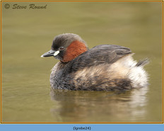 little-grebe-24.jpg