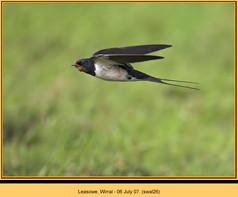 swallow-26.jpg