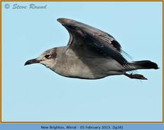 laughing-gull-18.jpg