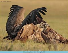 griffon-vulture-57.jpg