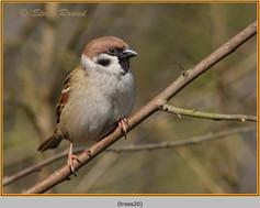 tree-sparrow-20.jpg