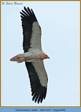 egyptian-vulture-09.jpg
