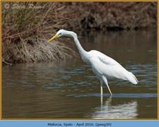 great-white-egret-39.jpg