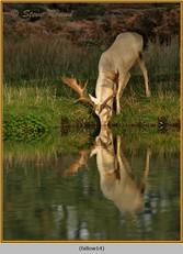 fallow-deer-14.jpg