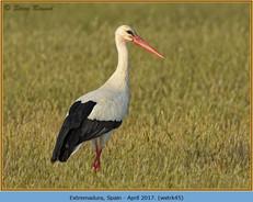 white-stork-45.jpg