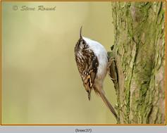 treecreeper-37.jpg