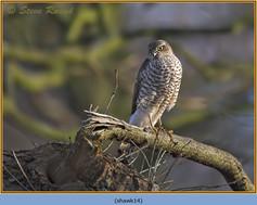 sparrowhawk-14.jpg