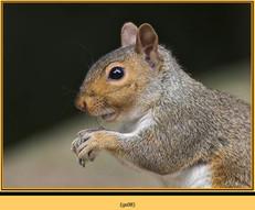 grey-squirrel-8.jpg