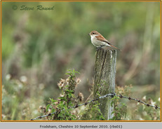 red-backed-shrike-01.jpg