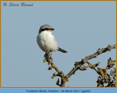 great-grey-shrike-05.jpg