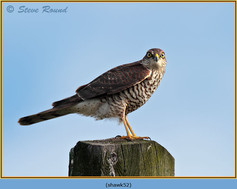 sparrowhawk-52.jpg