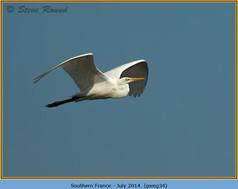 great-white-egret-34.jpg