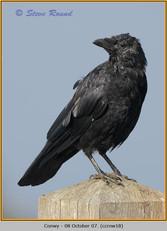 carrion-crow-18.jpg
