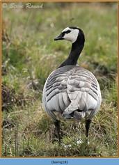 barnacle-goose-18.jpg