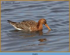 black-tailed-godwit- 86.jpg