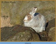 mountain-hare-14.jpg