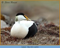 eider-duck- 53.jpg