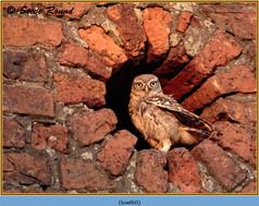 little-owl-60.jpg