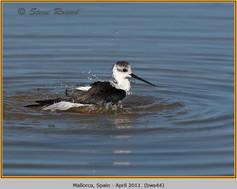 black-winged-stilt-44.jpg