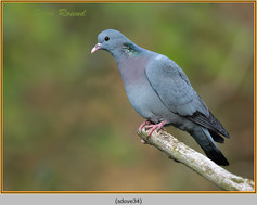 stock-dove-34.jpg