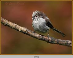 long-tailed-tit-53.jpg