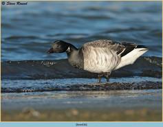 brent-goose-36.jpg