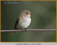 spotted-flycatcher-05.jpg